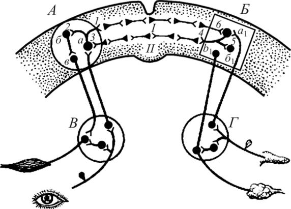 Рефлекторная дуга мигательного рефлекса рисунок