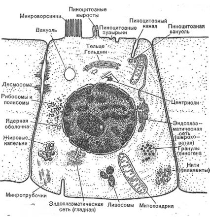 e443ee52051a Питание — составная часть обмена веществ - Основы биохимии. Учебное ...