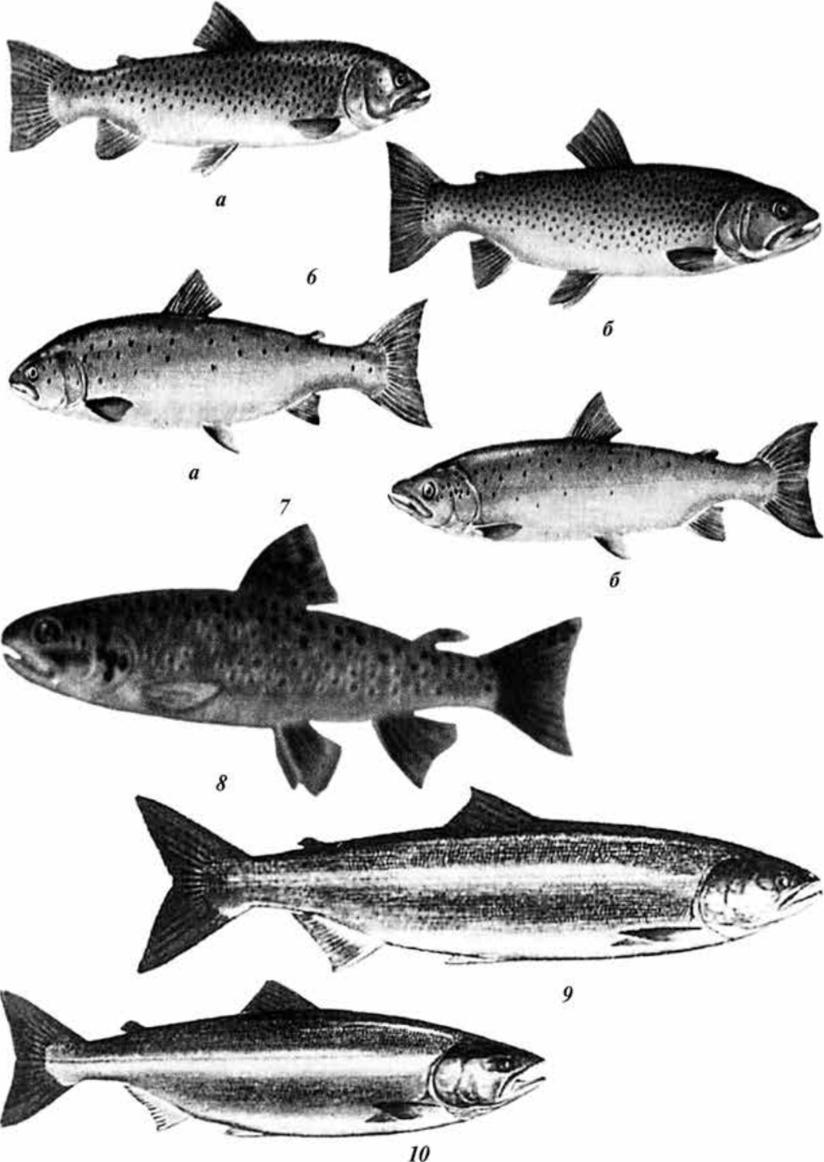 виды лососевых картинки довольно