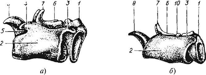 страница схема строения глотки крс рябчик, рябчик императорский
